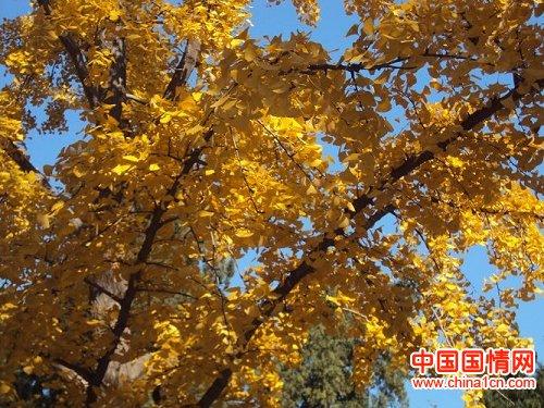 秋天大自然风景 银杏