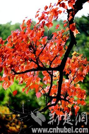 红枫银杏秋景浓
