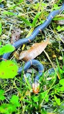 图文:稀有蛇种白头蝰