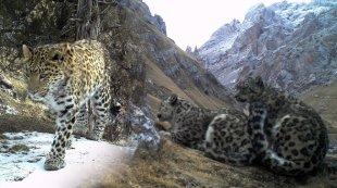 我国科研人员拍到野生雪豹